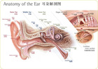 Ear anatomy diagram 0102011
