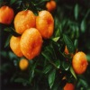 Fresh Fruit: mandarin orange