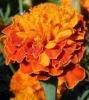 Marigold extract-Lutein 5%