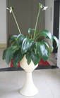 Eucharis Grandifolia