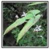 Epimedium herb