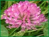 40% Red Clover Extract