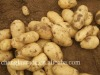 Fresh potato market price