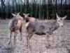 Deer metal Fence
