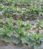 Agricultural prevent weed growth & moiature loss Black Mulch film