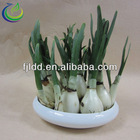 2013 New Narcissus For Sale