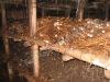 Straw Mushroom spawn