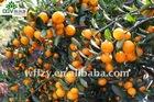 2012crop Mandarin Orange
