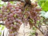 2012New Red Globe Grape