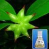 100% Natural star aniseed oil