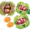 2012 Best Organic Chinese Fresh Raw Chestnuts - Raw Material of Roasted Peeled Chestnuts - for Sale