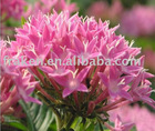 GMP factory Rhodiola Root extract