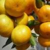 high quality mandarin orange