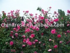 beautiful climbing roses from original chinese nurseries