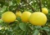 china fresh sweet organic pomelo