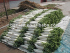 Supply best quality chinese white radish types