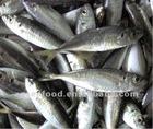 Frozen Jack mackerel (Trachurus Japonicus)