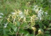 Honeysuckle Flower Extract/P.E.