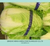 Chinese Cabbages New and Hot!!