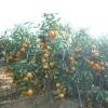 sweet Xunwu mandarin