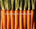 Fresh red carrot hot sale in middle east