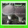Flat shiitake mushroom spawn