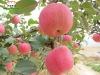 Fresh fruit for sale-Fuji apple
