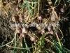 fresh one head garlic(high quality garlic)
