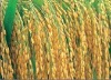 hybrid rice seeds