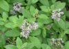 whole plant extract - thyme extract