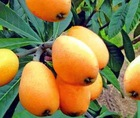 Sell 100% natural Loquat Leaf powder extract,4:1