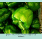 sell new green fresh bell pepper