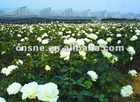 Rose Flower Extract/P.E.