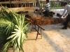 Trachycarpus fortunei windmill palms
