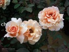 classic color -- natural perfume rose flower