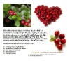 cranberry extract/proanthocyanidins