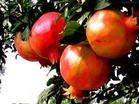 Pomegranate P.E.