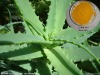 Factory supply aloe extract: Rhein acid 98% HPLC