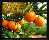 2012 Hot sell Gannan Navel Orange