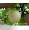 Chinese Fresh Crown Pear