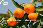 Sweet Mandarin Orange