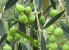 Natural Herbal Oleanolic acid (CAS No.: 508-02-1 )