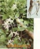 Chinese Clematis Root and Rhizome Extract