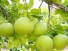 Supply NEW CROP fresh pomelo fruit