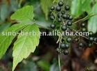 organic jiaogulan tea,herb tea,organic jiao gu lan,gynostemma pentaphylla