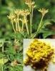 berberine --Yellow needle crystal powder
