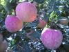 Healthy red fuji apple/fresh red fruits/organic fuji apples Hot SALE apple