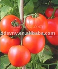 early mature tomato seed,fresh tomato seed