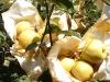 chinese pear fresh