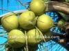 High quality saw palmetto fruit extract in fine powder (Fattty acids 25%-45%)